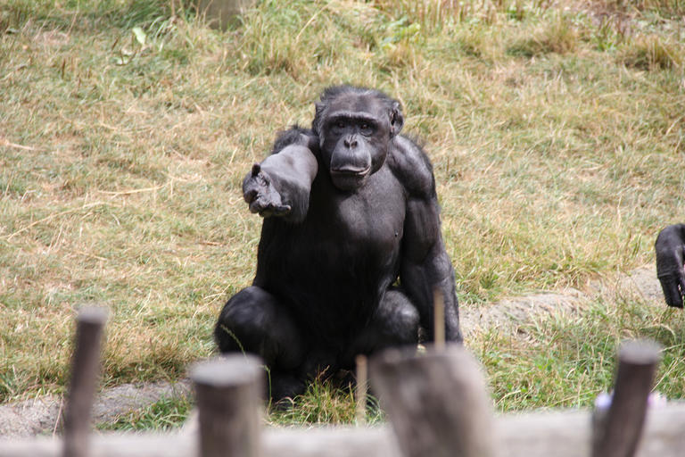 Что общего в поведении политиков и шимпанзе?