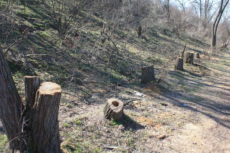 Незаконная вырубка деревьев достигла угрожающих масштабов (+ВИДЕО)