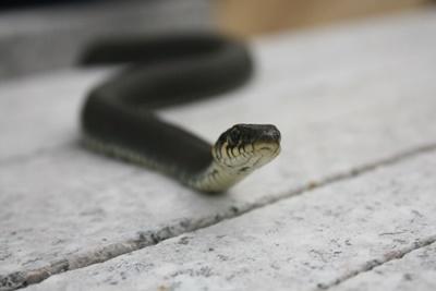 На Днепропетровщине нашли смертельно ядовитый гибрид змеи