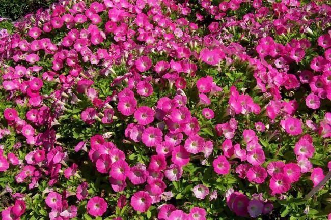 Покров закупил свыше 10 тысяч саженцев цветов!