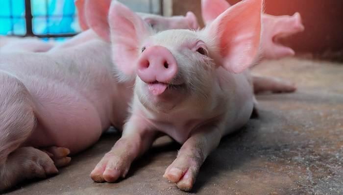 В Покровском исправительном центре обнаружили африканскую чуму свиней!
