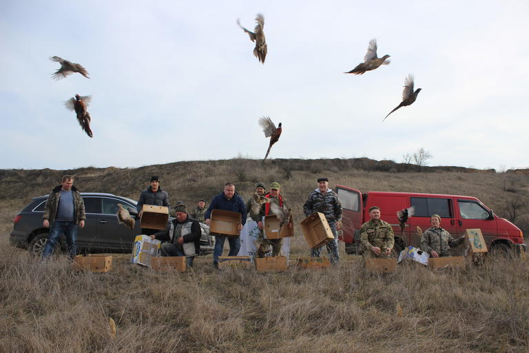 Возле Покрова охотники выпустили на волю больше сотни фазанов (ФОТО, ВИДЕО)